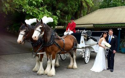Vicky and Greg's Horse Drawn Carriage to their Wedding at Nathania Springs