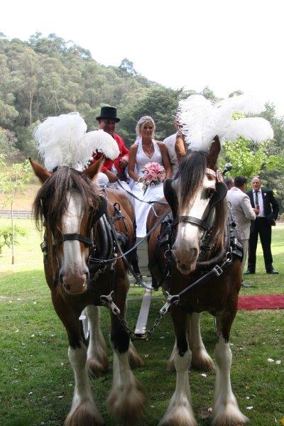 Dandenong Ranges Wedding Horse Drawn Carriage